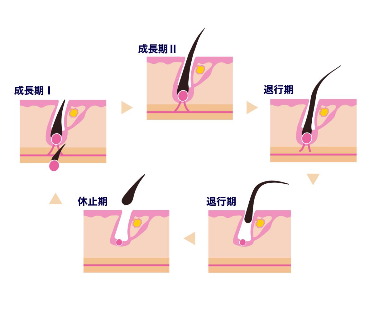 【AGA基礎知識】薄毛対策はヘアサイクル(毛周期)の仕組みを知ることから