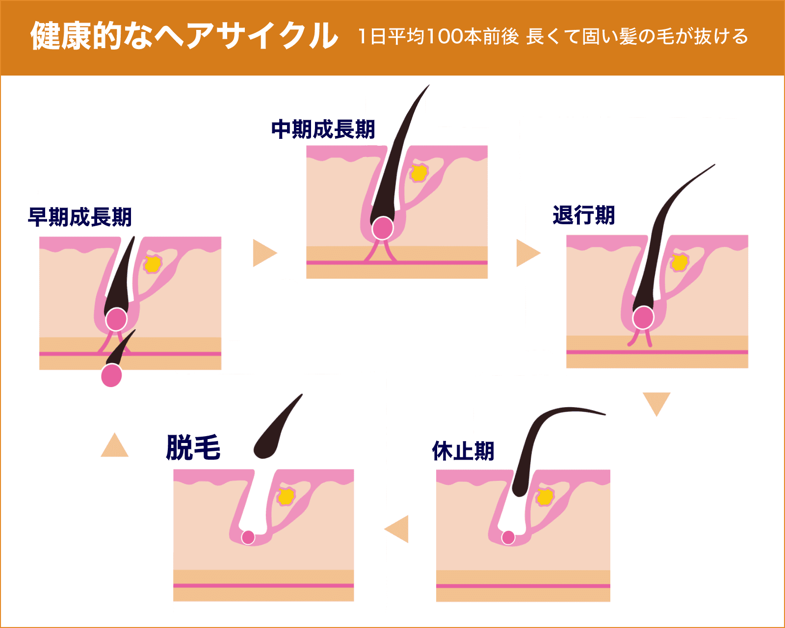 薄毛対策はヘアサイクル(毛周期)の仕組みを知ることから【AGA基礎知識】
